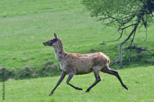 Fotobehang Hert buckskin grazing the grass on the meadow