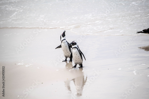 Plexiglas Pinguin Pinguine