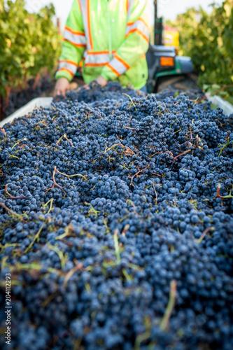 Fotobehang Wijngaard Cabernet Harvest