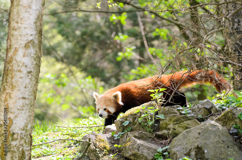 Fotobehang Panda Red panda (Ailurus fulgens fulgens) creeps up the tree and wooden house.