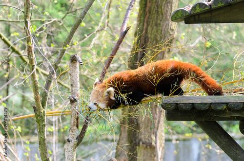 Fototapeta Red panda (Ailurus fulgens fulgens) creeps up the tree and wooden house.