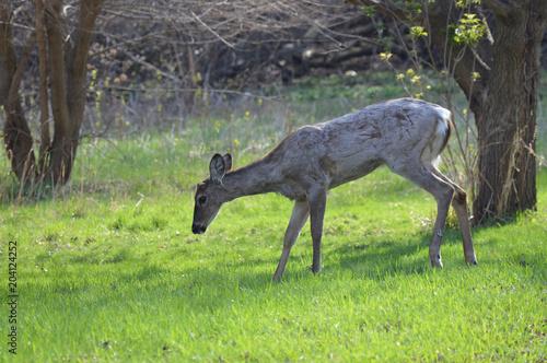 Fotobehang Hert White tailed deer