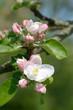 Leinwanddruck Bild - Apfelblüte im Bergischen Land in der Blütenstadt Leichlingen,Nordrhein-Westfalen,Deutschland