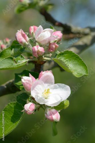 Leinwanddruck Bild Apfelblüte im Bergischen Land in der Blütenstadt Leichlingen,Nordrhein-Westfalen,Deutschland