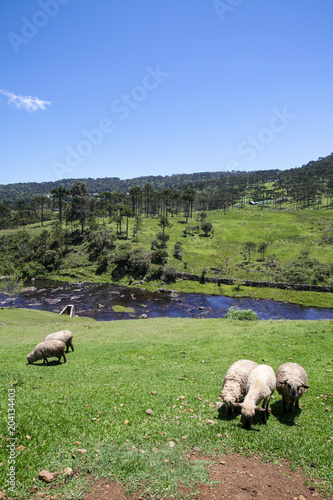 Aluminium Bergrivier Sheep grazing in mountain landscape with river in background in winter.
