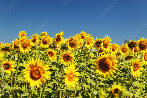 Plexiglas Geel sunflower field over cloudy blue sky and bright sun lights
