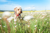 Yorkshire Terrier in foreground isolated from the background of nature. - 204154048