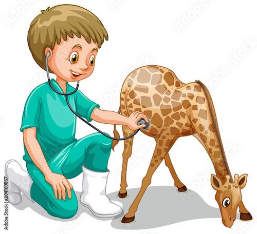 Fototapeta A Male Veterinarian Check Up Giraffe
