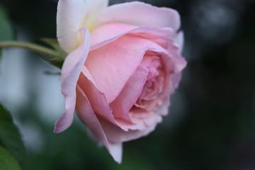 薔薇 バラ園を見に行きました。