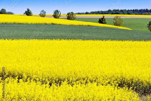 Plexiglas Geel spring agriculture - yellow rape field, Bohemian Paradise landscape, Czech republic