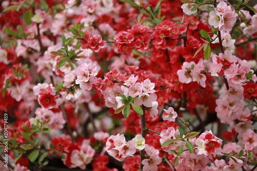 Plexiglas Rood paars 木瓜の花