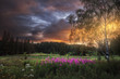 forest glade with wild pink flowers on sunset backgroundrs