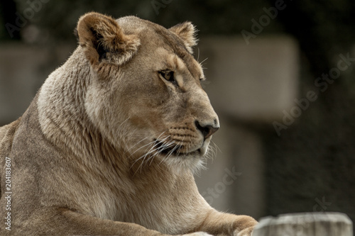 lionne © micky2paris75