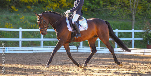 Plexiglas Paarden Horse Braun in a dressage test, photographed in trot in the floating phase..