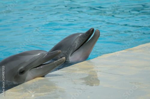 Plexiglas Dolfijn dolphins show at the riccione aquarium in italy