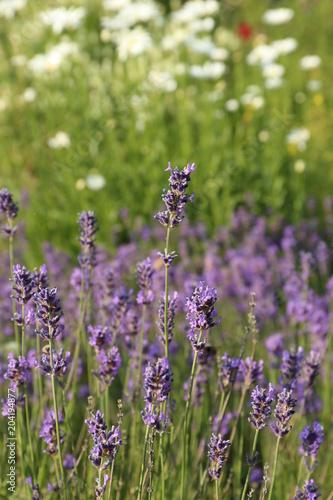 Plexiglas Lavendel lavande