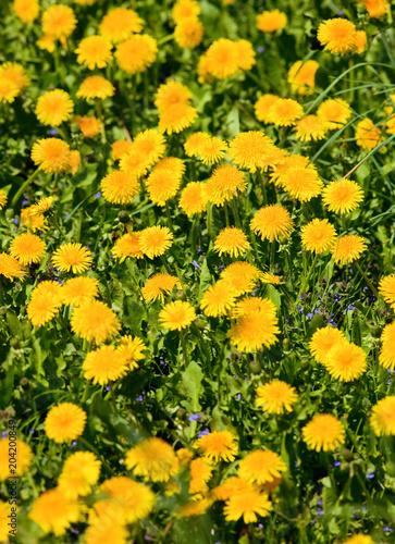 Fotobehang Oranje Field of Blooming Dandelions
