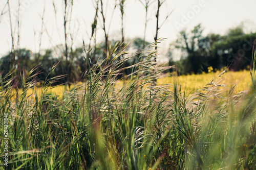 Fototapeta Colza field landscape in a sunny day