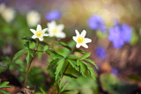 Anemone sylvestris. First spring flowers - 204203664