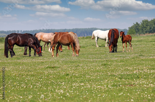 Plexiglas Paarden Herd of horses in pasture spring season