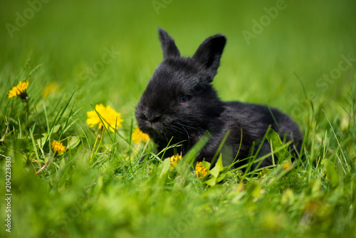 Cute black bunny with a dandelion flower sitting in the grass. Picturesque habitat, life in the meadow.