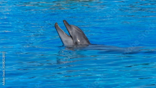 Plexiglas Dolfijn A bottlenose dolphin sticks its head out of the water and opens its mouth