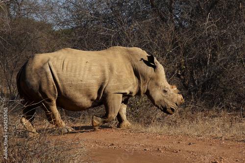 Fotobehang Neushoorn The white rhinoceros or square-lipped rhinoceros (Ceratotherium simum) has cut horn due to poachers, walking in the savanna