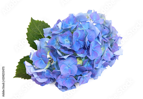Plexiglas Hydrangea Fleur d'hortensia bleue