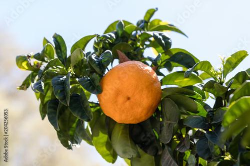 Citrus aurantium Bouquet de Fleur