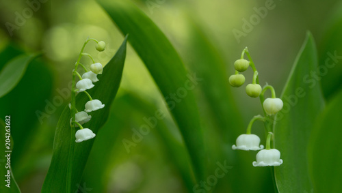 Aluminium Lelietjes van dalen White lily of the valley flowers on green background - panorama