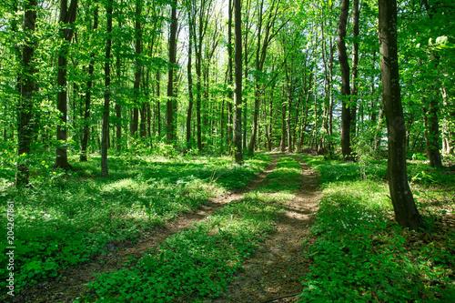 Plexiglas Groene Forest trees. nature green wood sunlight backgrounds