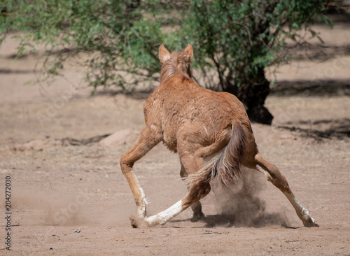 Canvas Arizona Baby horse trying to stand on wobbly legs