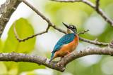 Kingfisher - 204274647