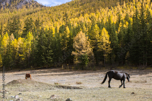 Plexiglas Paarden Horses grazing on the lawn in the Altai Mountains, Russia.