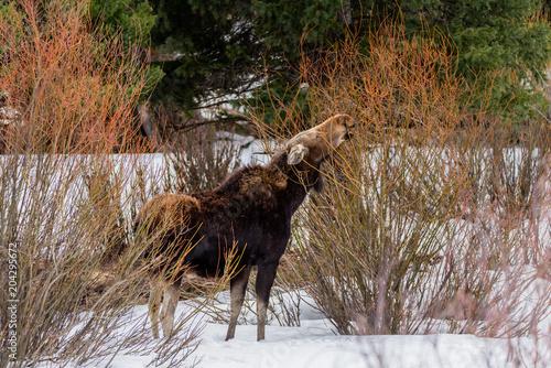 Fotobehang Hert Mother moose