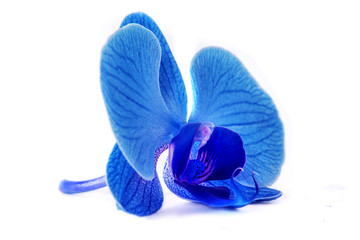 beautiful blue Orchid without background, bright blue Orchid flowers on a white background.