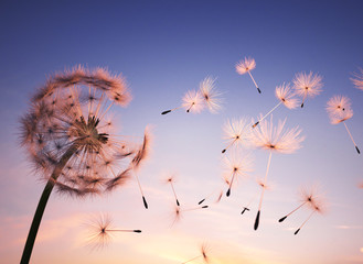 Dandelion seeds in the air