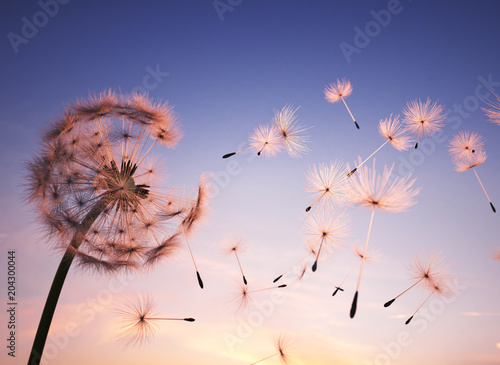 Dandelion seeds in the air - 204300044