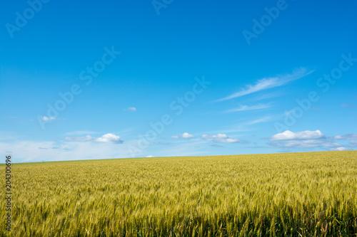 Fotobehang Blauwe jeans 夏の青空とムギ畑