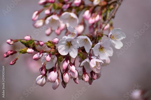 Fotobehang Lavendel 咲き始めの桜