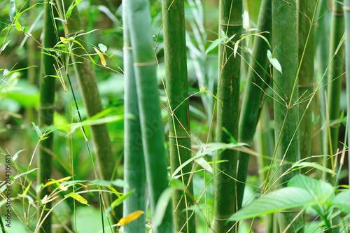 Plexiglas Bamboe bamboo trees in garden