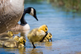 Cute Canada Goose gosling and family at a lake