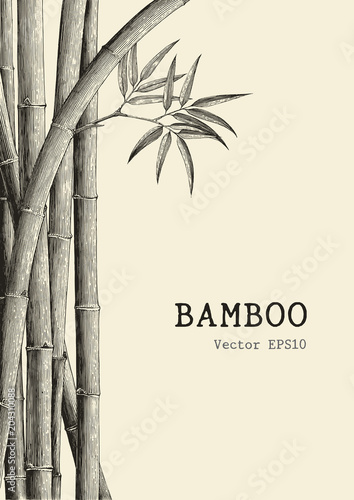 Fototapeta Bamboo background hand drawing engraving style