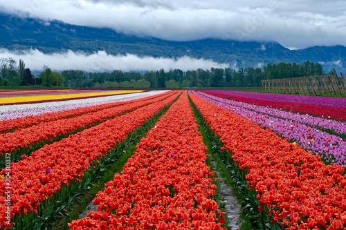 Plexiglas Tulpen Tulip festival in Chilliwack. Tulips of the Valley. Tulip fields in Fraser Valley near Vancouver, British Columbia. Canada.