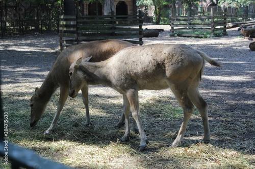 Fototapeta Deer photography art in zoo wild life