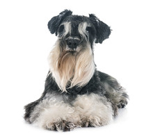 Miniature Schnauzer In Studio Sticker