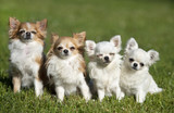 chihuahuas in nature - 204324898