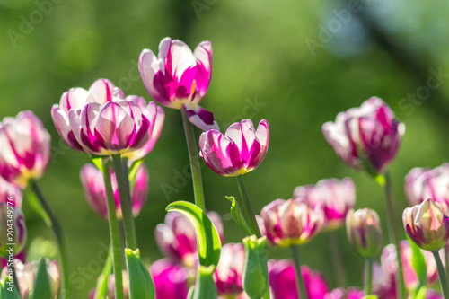Plexiglas Tulpen clolorful bloomig violet tulips in spring garden