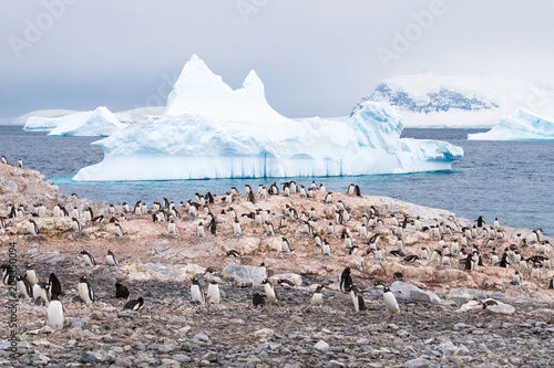 Aluminium Pinguin Colony of breeding Gentoo penguins on Cuverville Island and icebergs in Errera Channel, Western Antarctic Peninsula, Antarctica