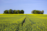 Tractor tracks on a rape field and group of trees - 204365421